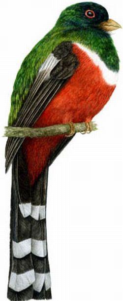 Pájaro mexicano llamadotzinitzcan,que posee las plumas del color de las del ángel que está a los pies de la Virgen.