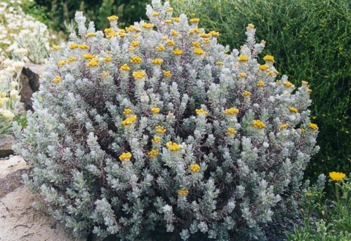 """Fotografía del """"Helichrysum splendidum"""" hallado en la Síndone de Turín y el Sudario de Oviedo."""